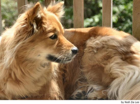El perro spitz finlandés