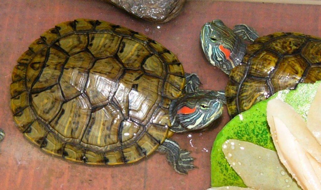 Especies de tortugas de agua dulce