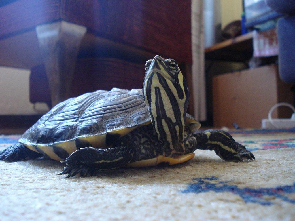 Especies de tortugas de agua dulce que puedes adoptar