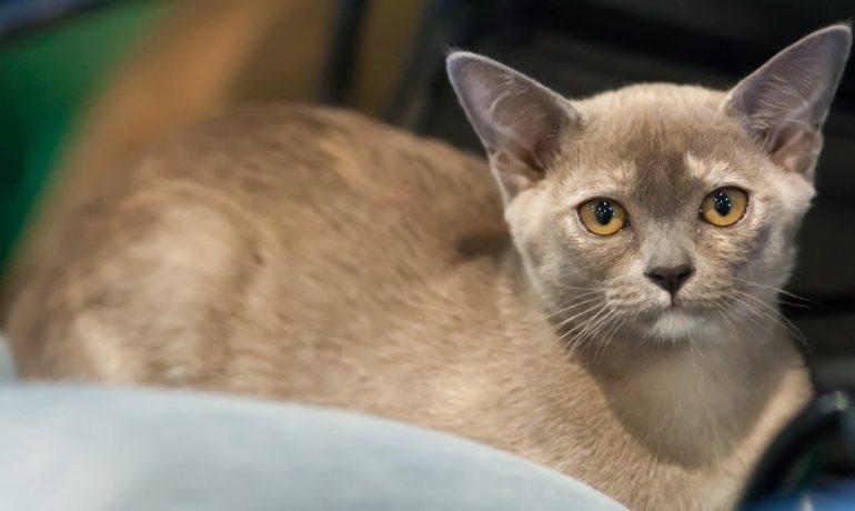 Esta es la fascinante raza de gato burmés