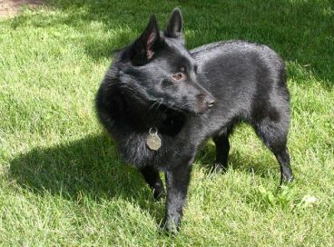 Hablamos sobre la raza de perro schipperke