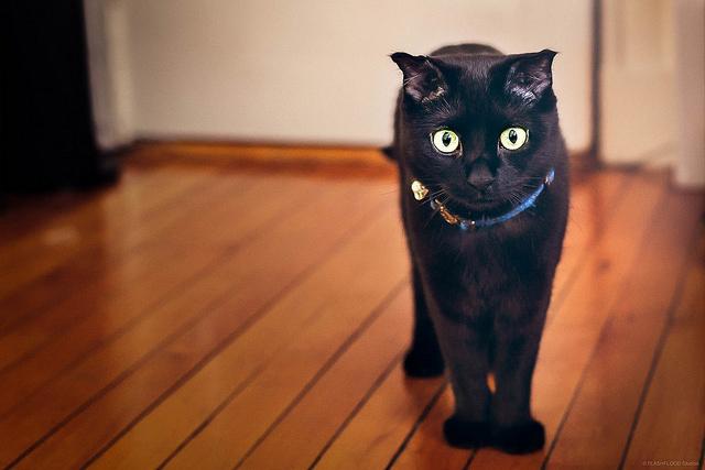 Historia de la raza de gato Bombay