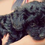 La leptospirosis canina