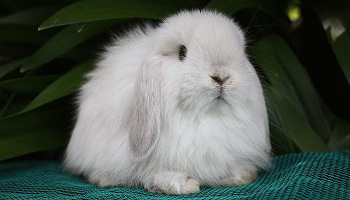 Las 12 razas de conejos enanos más encantadores