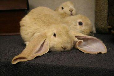 Las razas de conejos más populares y bonitas del mundo