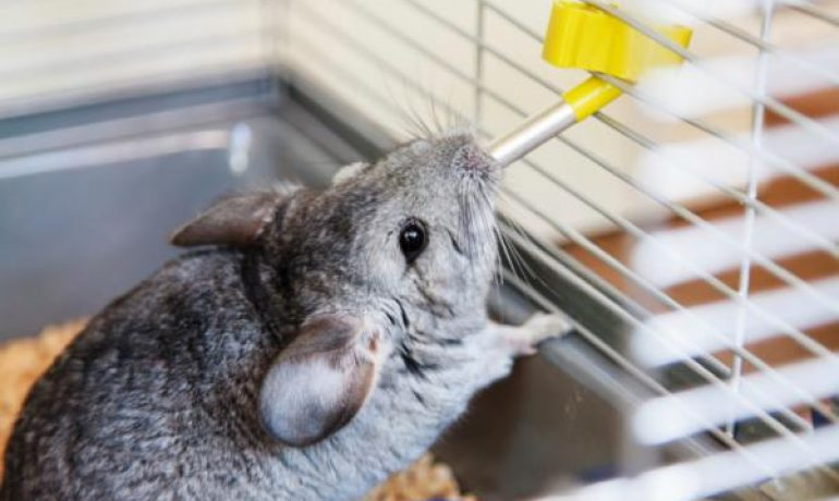 Mi chinchilla no bebe agua