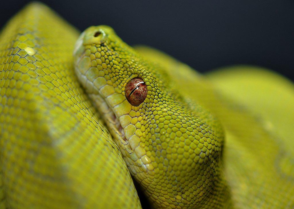Mi serpiente ha dejado de comer por causas naturales