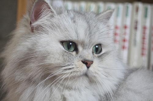 Orígenes del gato persa chinchilla