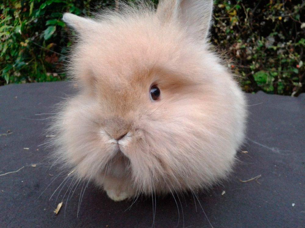 Origen del conejo lionhead