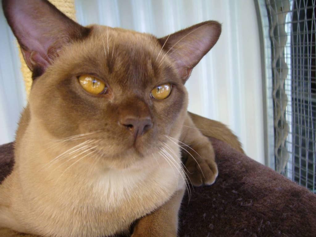 Origen del gato burmés