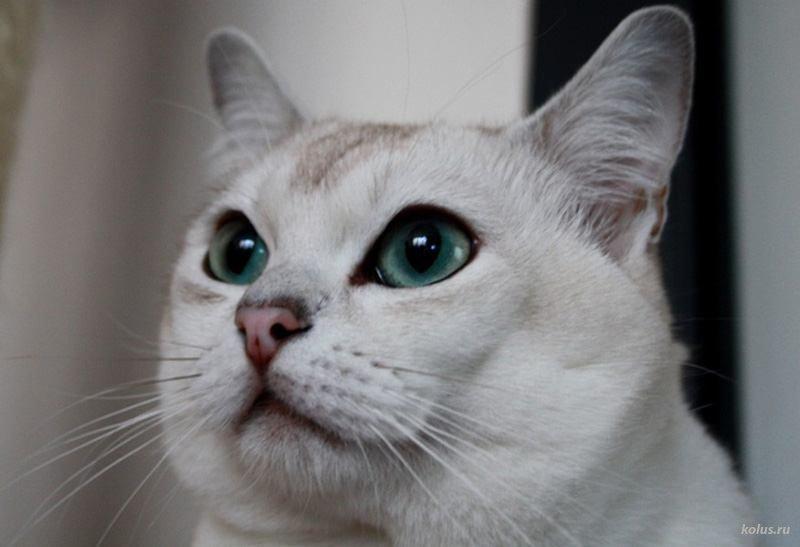 Origen del gato burmilla