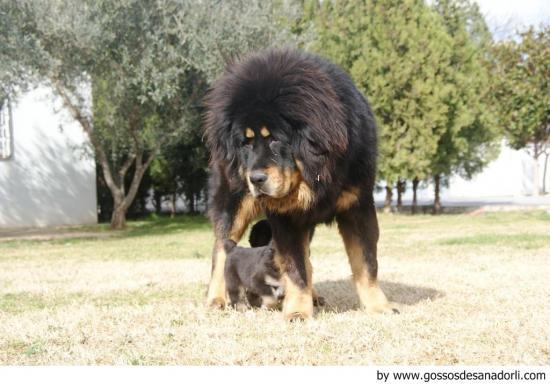 Origen del perro dogo del Tíbet
