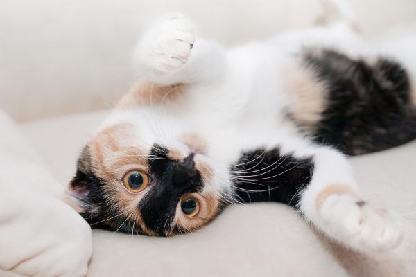 Primeros auxilios para gatos heridos