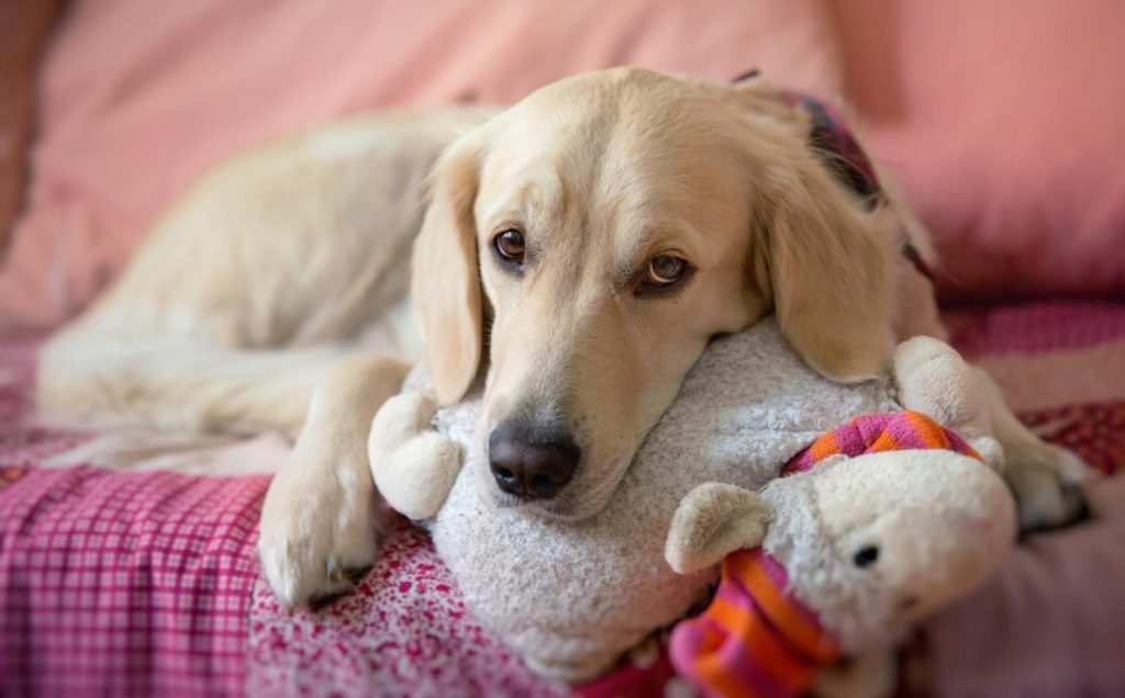 Qué es el embarazo psicológico en perros