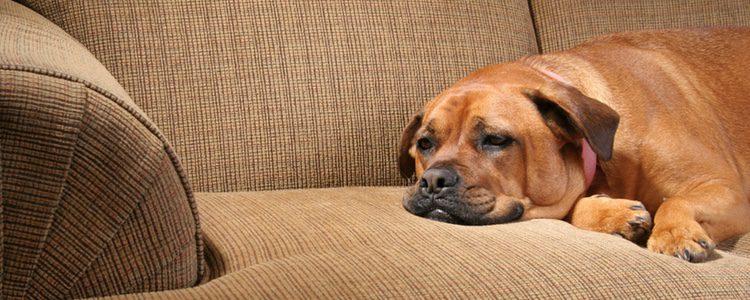 Qué es el estrés en los perros y cómo identificarlo