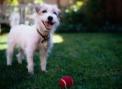 Qué es la brucelosis canina