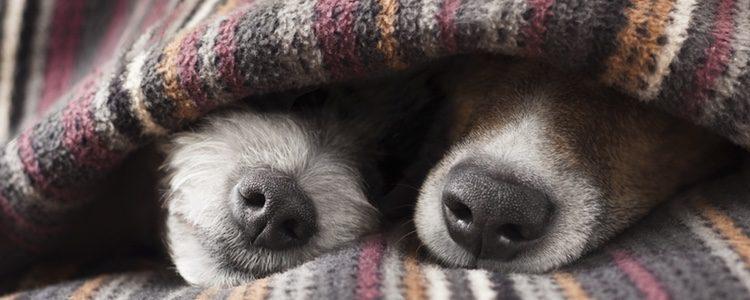 Síntomas de la hipotermia en perros