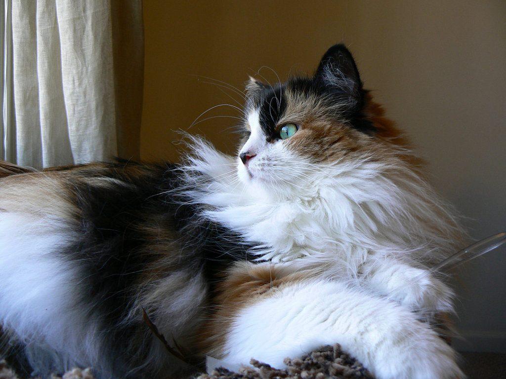 Síntomas de las bolas de pelo en los gatos