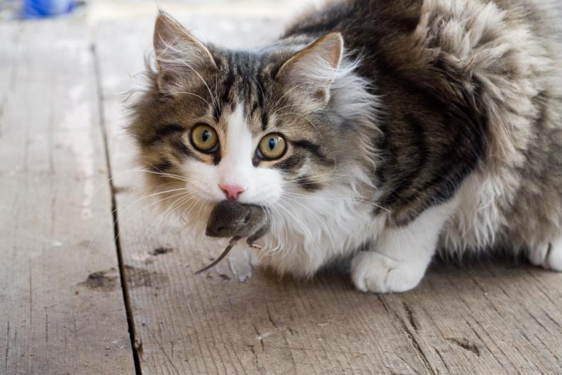 Síntomas del calicivirus felino