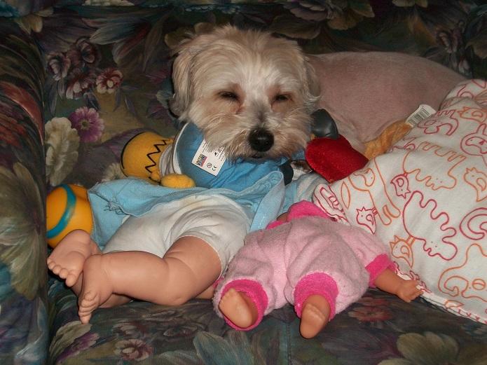 Síntomas del embarazo psicológico en perros