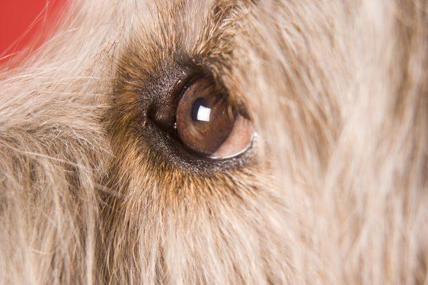 Síntomas del entropión en perros