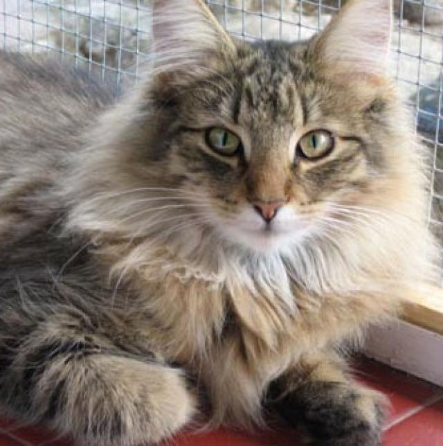 Salud del gato británico de pelo largo