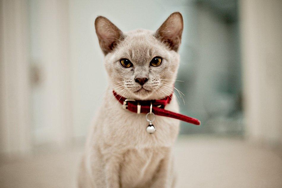 Salud del gato burmés