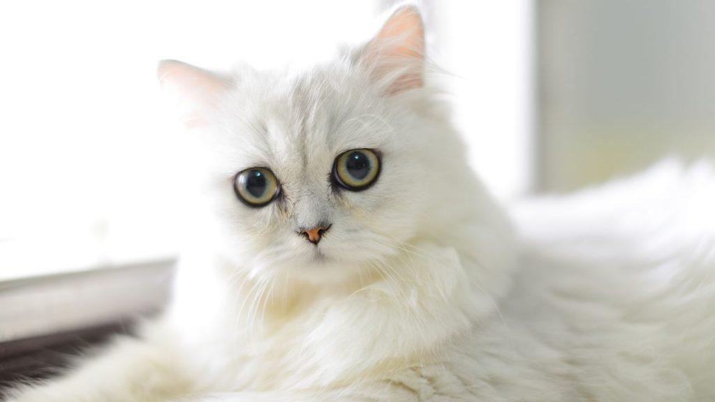 Salud del gato persa chinchilla