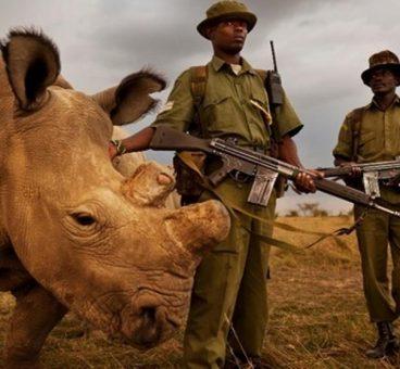 Sudán el rinoceronte blanco que busca pareja en Tinder