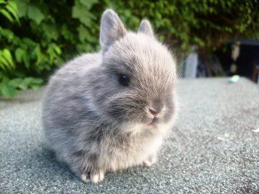 Te lo contamos todo sobre el conejo mini rex