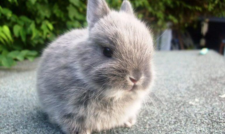 Te lo contamos TODO sobre el Conejo Mini Rex, ¡no te lo pierdas!
