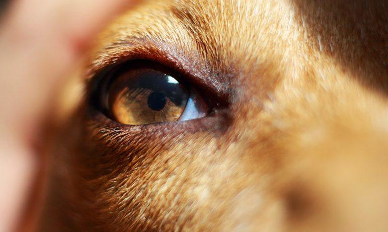 Te lo contamos todo sobre el entropión en perros