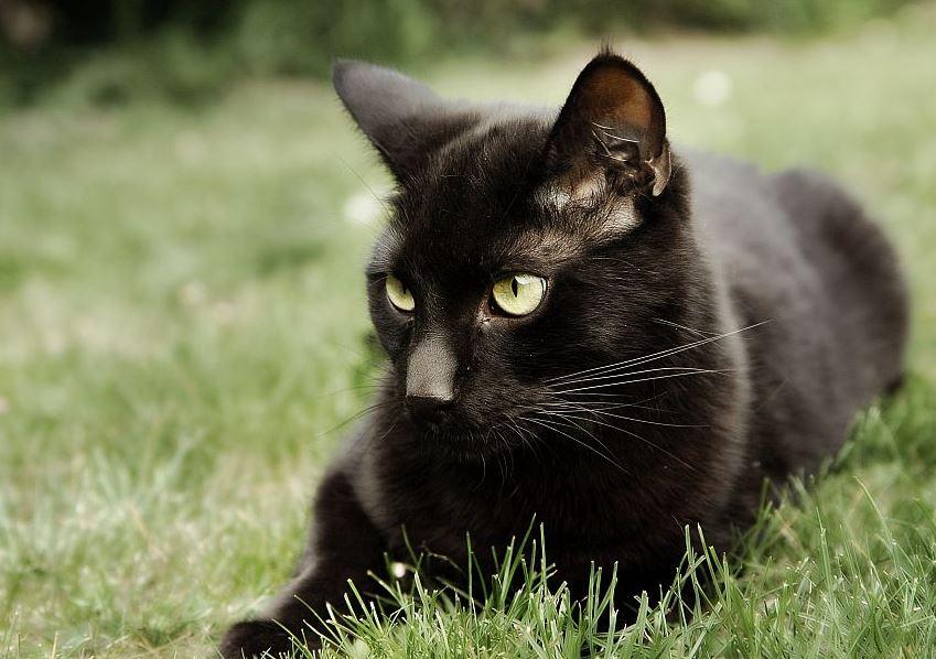 Temperamento de la raza de gato Bombay