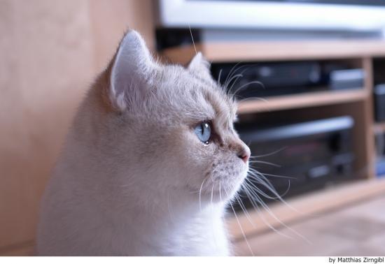 Temperamento del gato británico de pelo corto