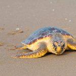 Tipos de tortugas de mar