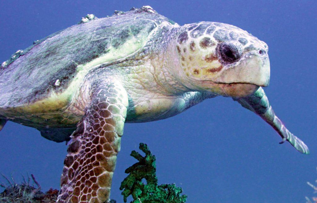 Tipos de tortugas de mar tortuga boba