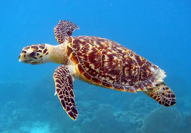 Tipos de tortugas de mar tortuga carey