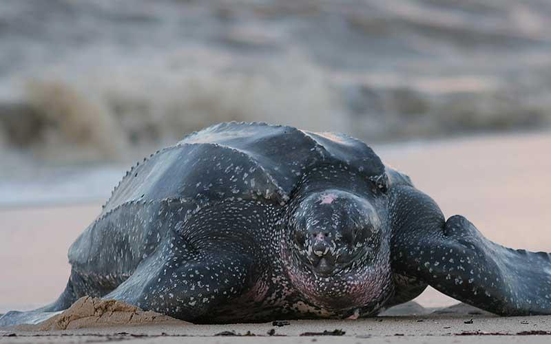 Tipos de tortugas de mar tortuga laud