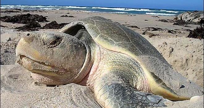 Tipos de tortugas de mar tortuga lora