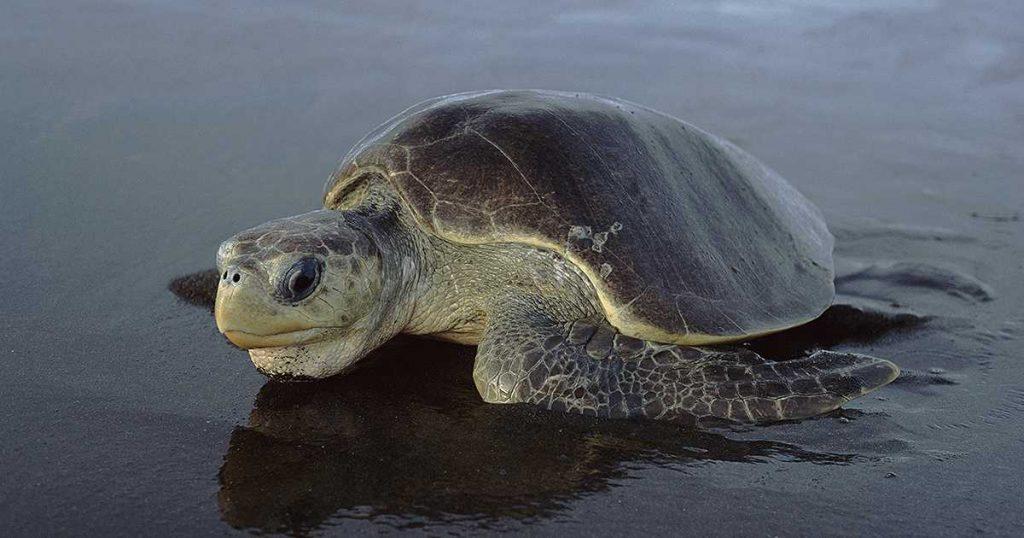 Tipos de tortugas de mar tortuga olivacea