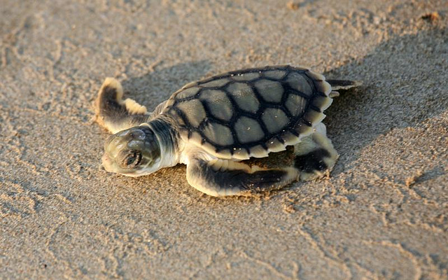Tipos de tortugas de mar tortuga plana