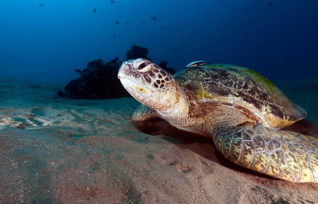 Tipos de tortugas de mar tortuga verde