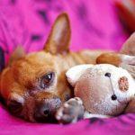 Toda la información sobre el embarazo psicológico en perros