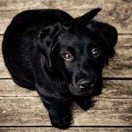 Todo lo que debes saber sobre la hepatitis en perros