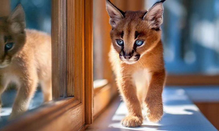 Todo sobre el coronavirus felino