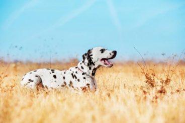 Todo sobre el síndrome de Cushing en perros