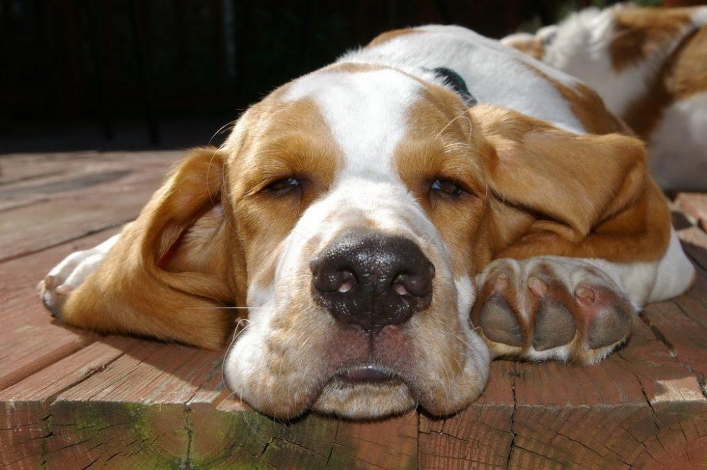 Tratamiento de la gripe en los perros