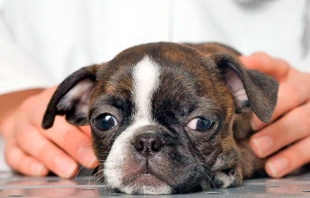 Tratamiento de la hepatitis en perros