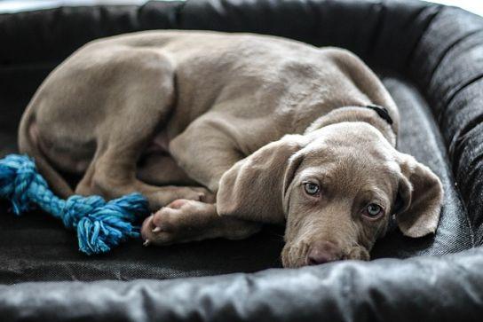 Tratamiento del embarazo psicológico en perros