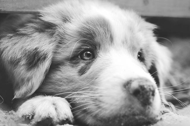 Tratamiento del entropión en perros